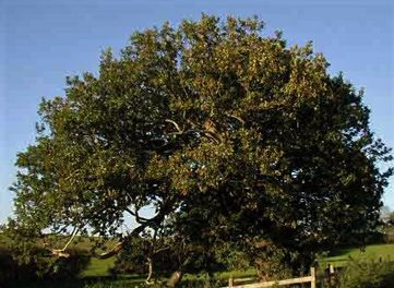Huntingfield Queens Oak
